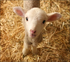 Sheep & Lamb Feed-Maryland - Farmers Cooperative Association, Inc
